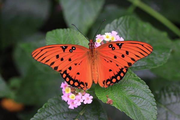 Queen Butterfly Art Print featuring the photograph Queen Butterfly by Rick Berk
