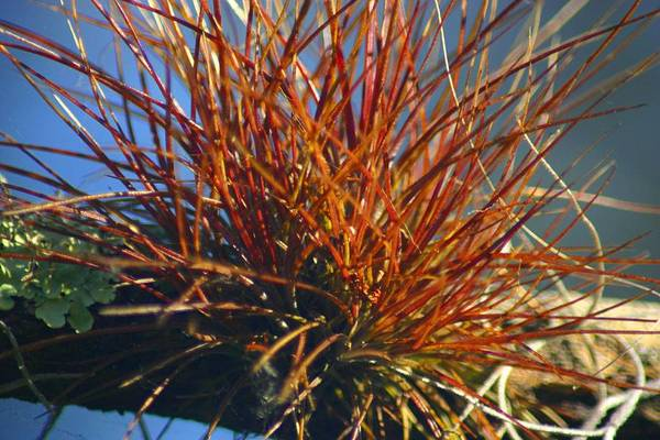 Art Print featuring the photograph Red Air Plant by Jeanne Andrews