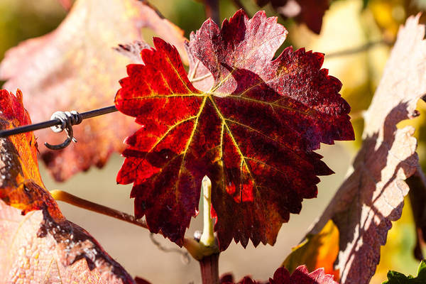 Autumn Art Print featuring the photograph Red Grapeleaves by Dina Calvarese