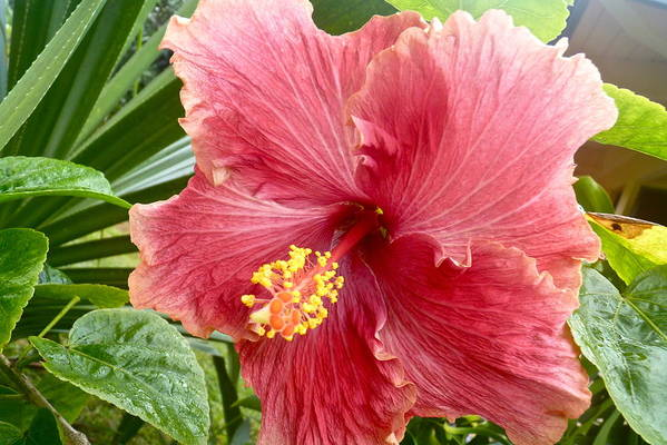 Hibiscus Art Print featuring the photograph Red Hibiscus by Bryn Berg