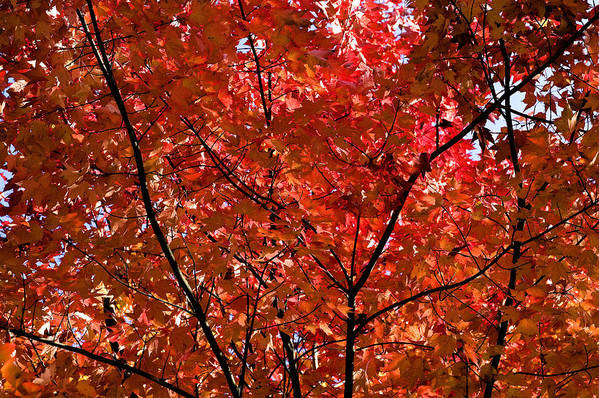 Red Art Print featuring the photograph Red Leaves Black Branches by Rich Franco