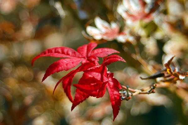 Red Art Print featuring the photograph Red Maple by Julian Garza