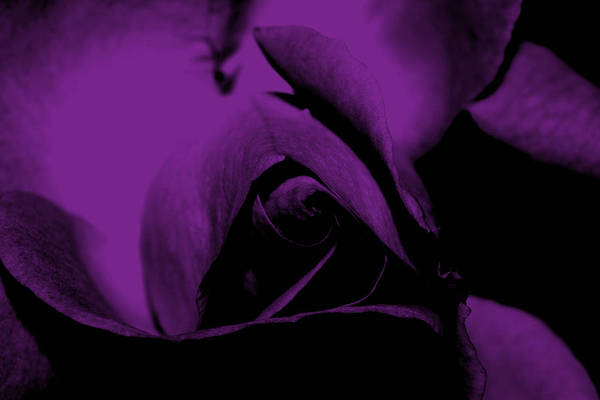 Nature Art Print featuring the photograph Red Rose Close Up 2011 In Violet by Robert Morin