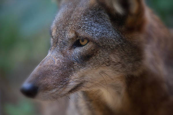 Wolf Art Print featuring the photograph Red Wolf Stare by Karol Livote