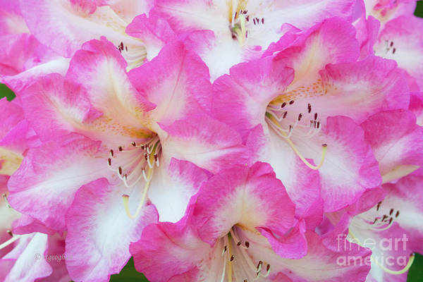 Rhododendron Art Print featuring the photograph Rhododendron- Hot Pink by Regina Geoghan