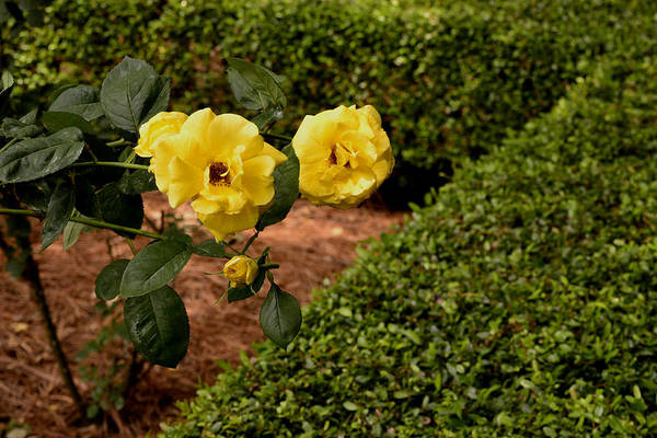 Flora Art Print featuring the photograph Roses In The Hedge by Larry Bishop