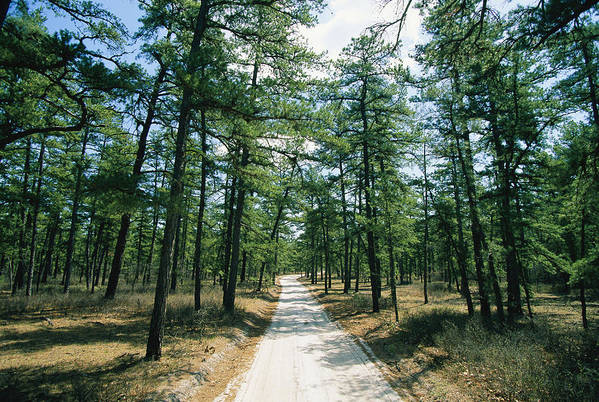 Forests And Forestry Art Print featuring the photograph Sand Road Through The Pine Barrens, New by Skip Brown