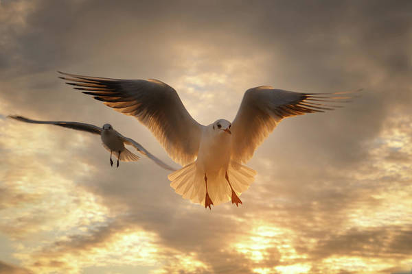 Horizontal Art Print featuring the photograph Seagull by GilG Photographie