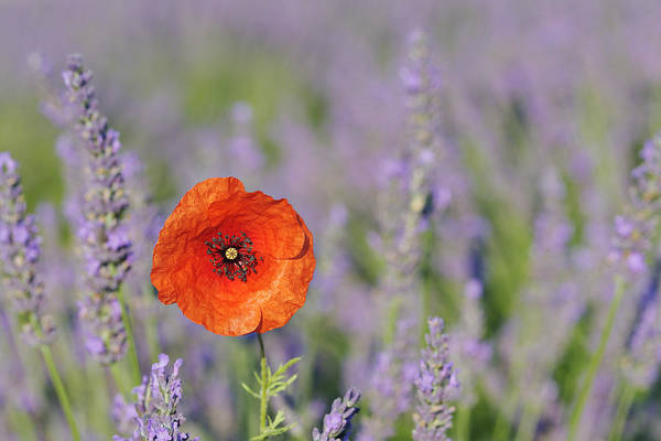 Horizontal Print featuring the photograph Shirley Poppy In English Lavender Field, Valensole, Valensole Plateau, Alpes-de-haute-provence, Provence-alpes-cote D Azur, Provence, France by Martin Ruegner