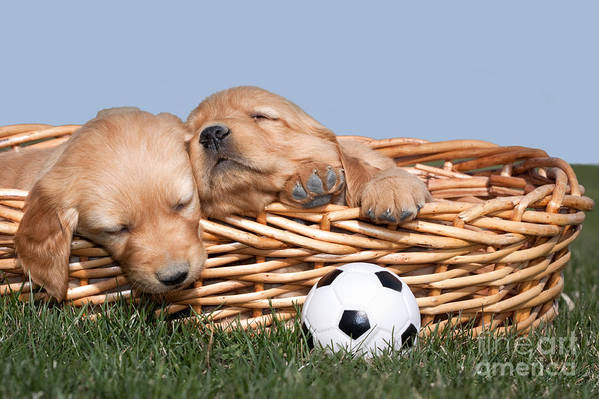Dogs Print featuring the photograph Sleeping Puppies In Basket And Toy Ball by Cindy Singleton