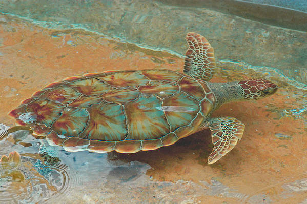 Sea Turtle Art Print featuring the photograph Small Wake by Stacey Robinson