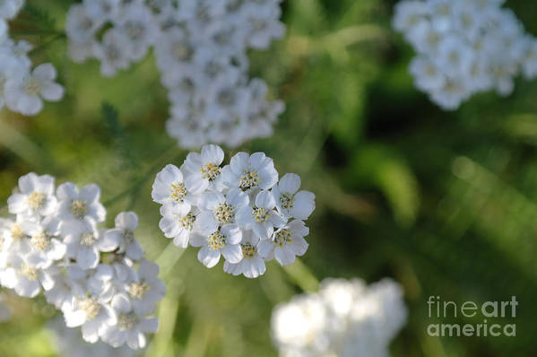 White Flowers Art Print featuring the photograph Small White Wildflowers by Jeff Swan
