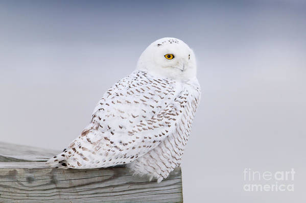 Clarence Holmes Art Print featuring the photograph Snowy Owl I by Clarence Holmes
