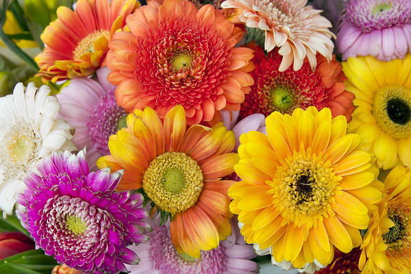 Gerbera Art Print featuring the photograph Spring Flowers Gerbera Macro by Aleksandr Volkov