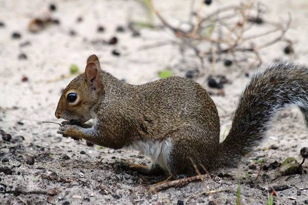 Art Print featuring the photograph Squirrel Eating Nuts by Jeanne Andrews
