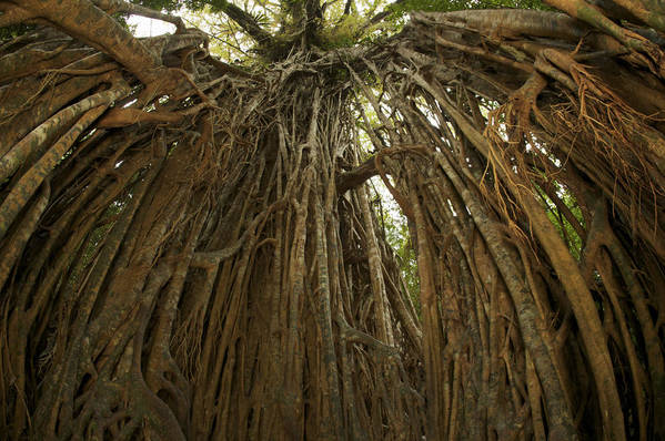 Day Art Print featuring the photograph Strangler Fig Tree, Ficus Virens, Known by Tim Laman