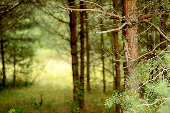 Nature Art Print featuring the glass art Summer Forest. Pine Trees by Jenny Rainbow