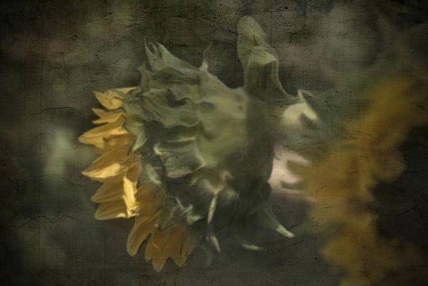 Sunflower Green Leaves Cindyrubin Petals Blossom Bloom Art Print featuring the photograph Summers Beauty by Cindy Rubin