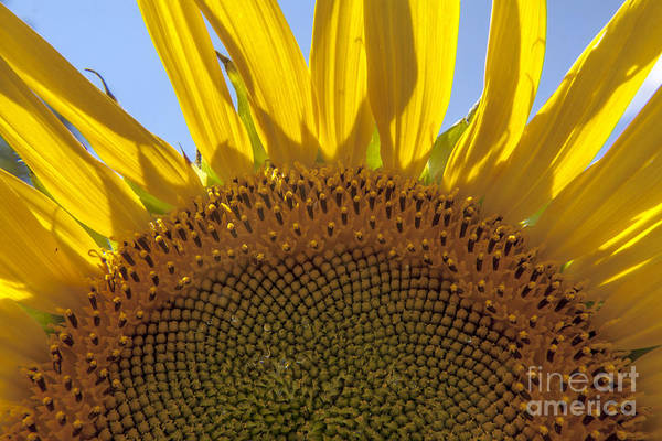 Sunflower Art Print featuring the photograph Sunflower Arch by Darleen Stry