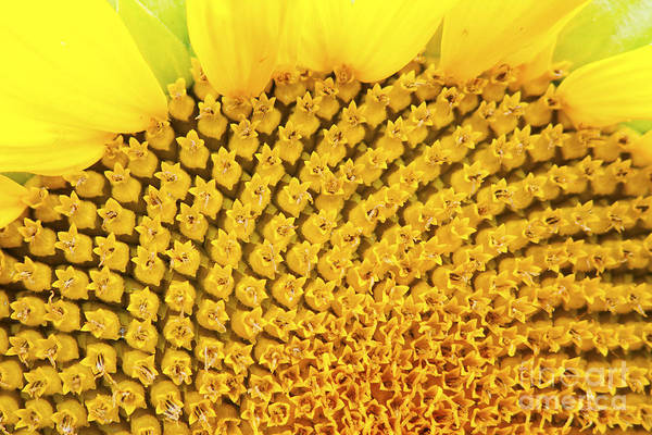 Beautiful Art Print featuring the photograph Sunflower Closeup by Gordon Wood