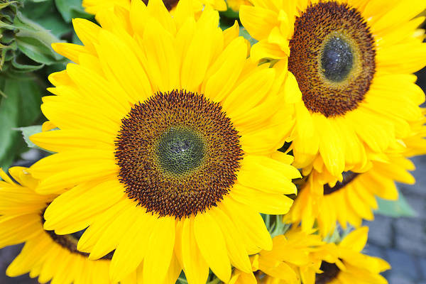 Horizontal Art Print featuring the photograph Sunflowers (helianthus Annuus) by Josie Elias