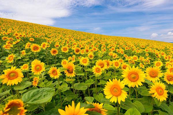 Horizontal Art Print featuring the photograph Sunflowers by Jason Arney