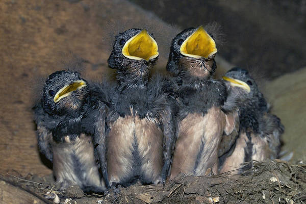 Hirundo Rustica Art Print featuring the photograph Swallow Chicks by Georgette Douwma