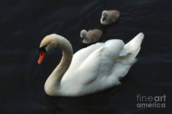 Swan Art Print featuring the photograph Swan Family 1 by Bob Christopher