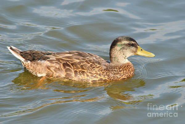 Bird Art Print featuring the photograph Swimming Duck by Dan Orlowski