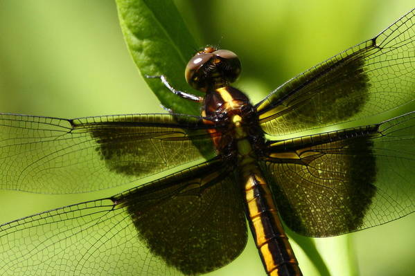 Dragonfly Art Print featuring the photograph Symetry by Bruce J Robinson