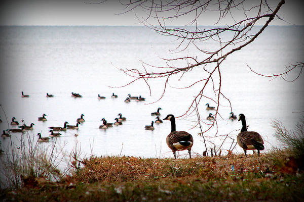 Geese Art Print featuring the photograph Take Us With You by Christina Thibert
