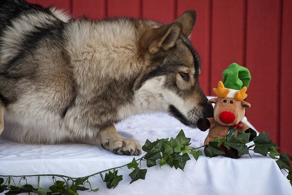 Wolf Art Print featuring the photograph Tehya's Christmas by Amanda LeClerc