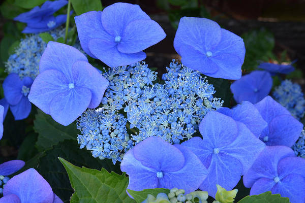 Hydrangea Art Print featuring the photograph The Blue Bunch. by Terence Davis