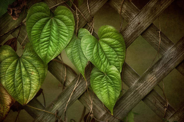 Vine Print featuring the photograph The Trellis by Brenda Bryant