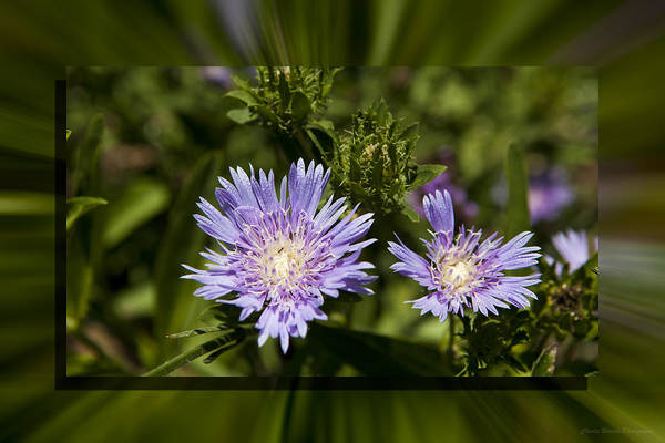 Thistle Art Print featuring the photograph Thistle 131 by Charles Warren