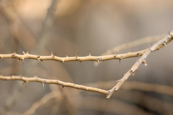 Photography Art Print featuring the photograph Thorny Desert Plant Inside The Desert by Joel Sartore