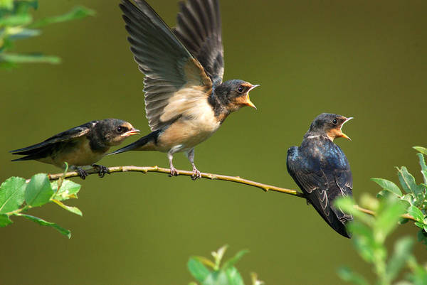 Arlington Art Print featuring the photograph Three Barn Swallow Fledglings Begging by Darlyne A. Murawski
