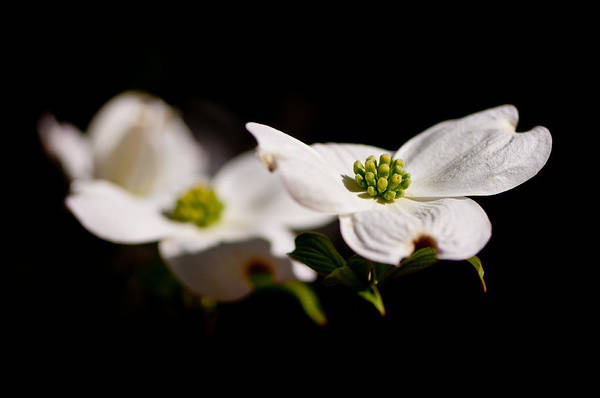 Flower Art Print featuring the photograph Three Dogwood Blossoms On Black by Marcus Taylor