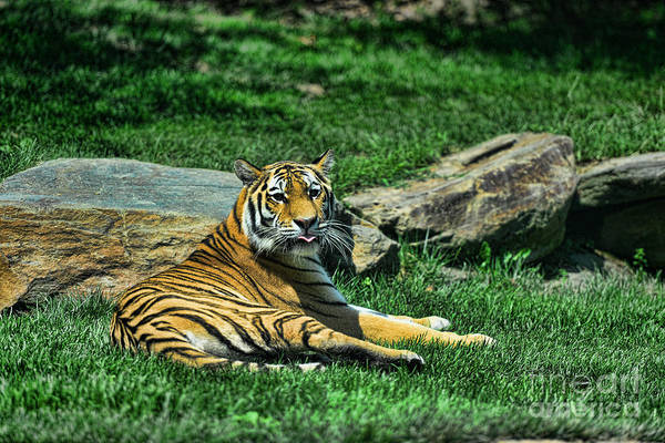 Tiger Art Print featuring the photograph Tiger - Endangered - Lying Down - Tongue Out by Paul Ward