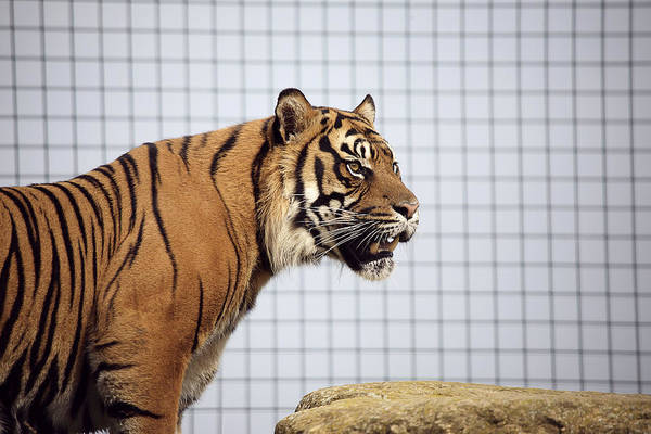 Panthera Tigris Art Print featuring the photograph Tiger In Captivity by Linda Wright