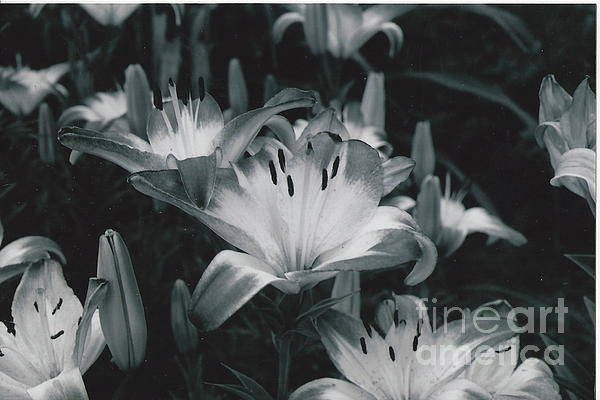Black And White Art Print featuring the photograph Tiger Lilies by Catherine Conroy