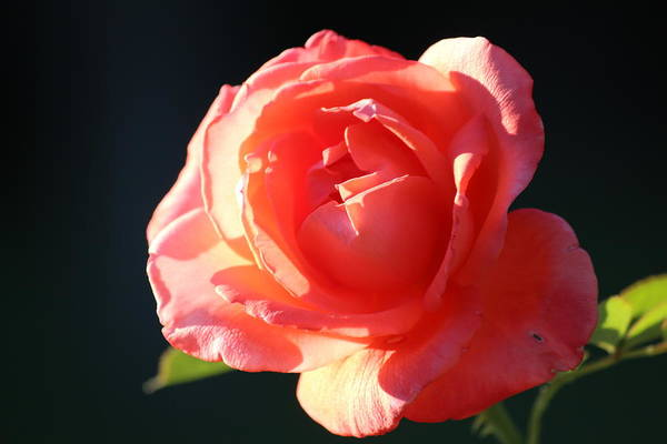 Rose Art Print featuring the photograph Touch Of Fragrance. by Raquel Amaral