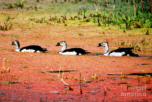 Comb Ducks Art Print featuring the photograph Trio Of Ducks by Pravine Chester