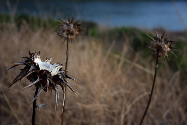 Close-up Art Print featuring the photograph Trio Of Thistles by Leonard Sharp