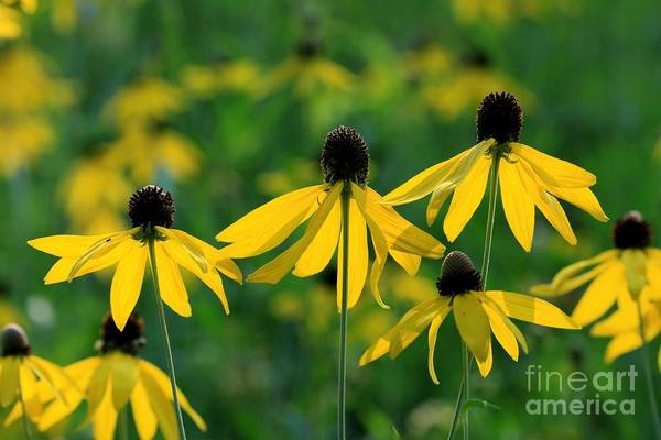 Coneflowers Art Print featuring the photograph Triplets by Rick Rauzi