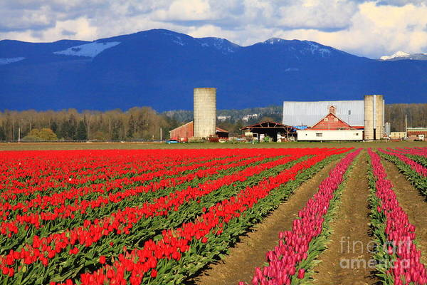 Tulip Art Print featuring the photograph Tulip Barn by Angela Q