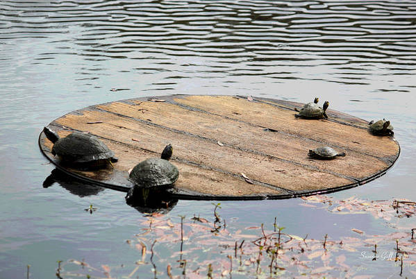 Turtle Art Print featuring the photograph Turtle Family Beach by Suzanne Gaff