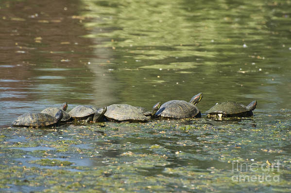 Turtles Art Print featuring the photograph Turtle Traffic Jam by Tim Mulina