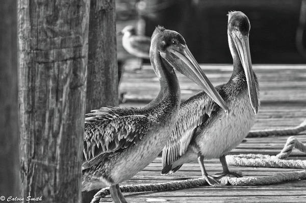 Shem Creek Pelicans Art Print featuring the photograph Two by Calvin Smith