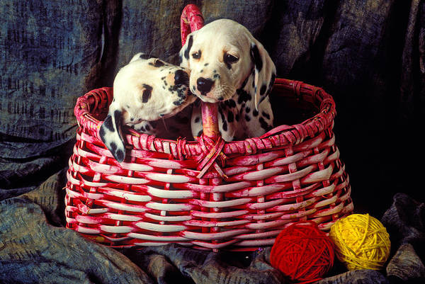 Two Dalmatian Art Print featuring the photograph Two Dalmatian Puppies by Garry Gay